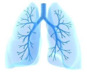 Lungen mit Bronchien